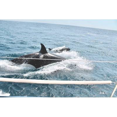 Sailors say a pod of nine orcas rammed their boat and bit their keel for more than an hour in late July in the Strait of Gibraltar off the coast of Spain. (Submitted by Victoria Morris )